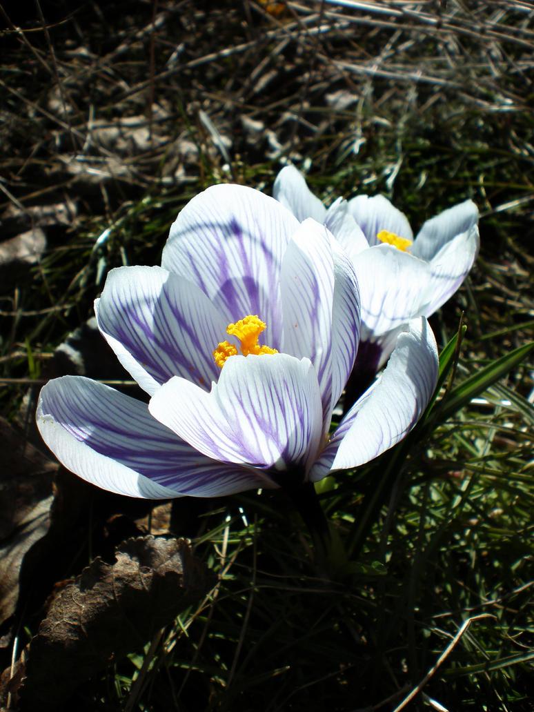 Spring crocus by Xercatos