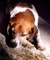 Sleepy Beagle by BeagleTsuin