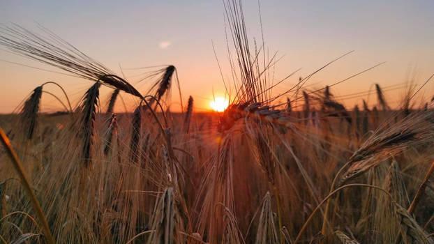 Wheat in the setting sun