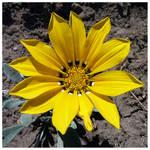 Yellow Miracle