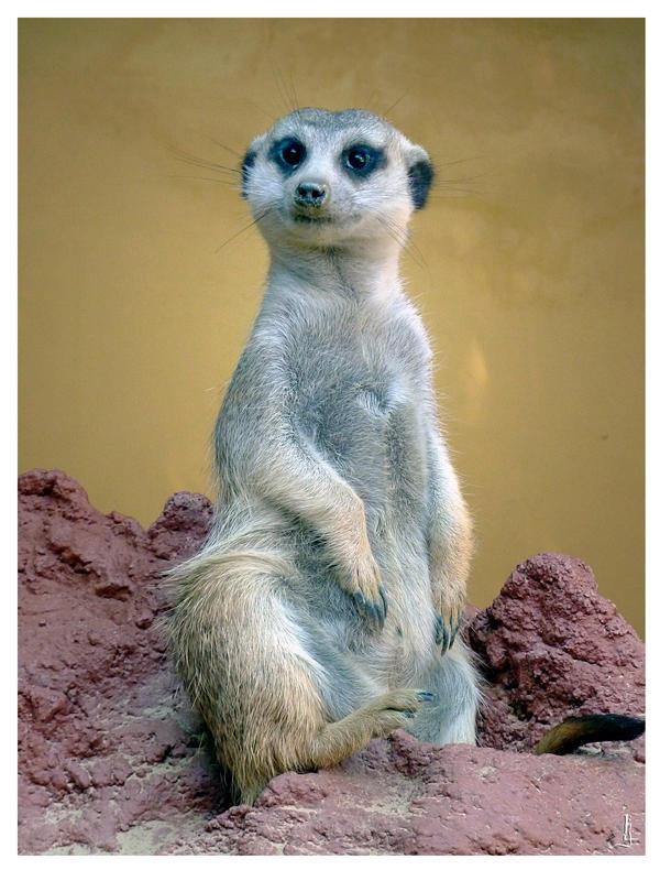 Meerkat by jankolas