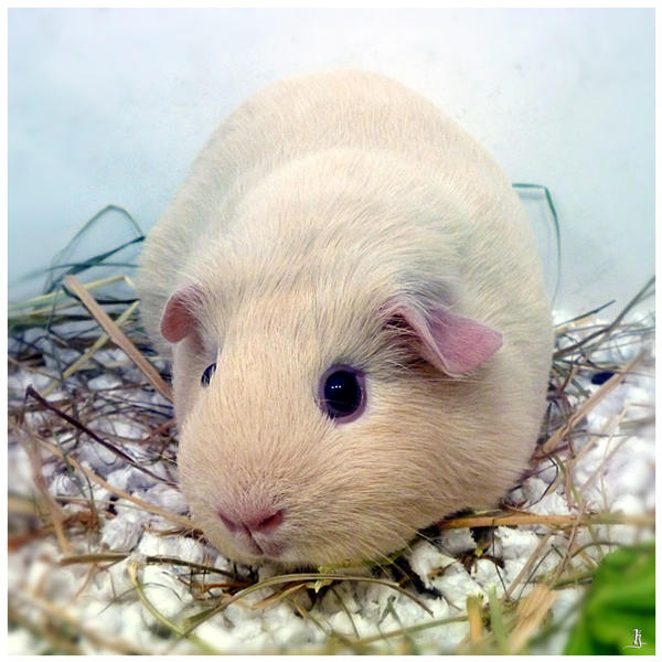 Guinea pig by jankolas