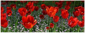 Tulips for Selina by JankaLateckova