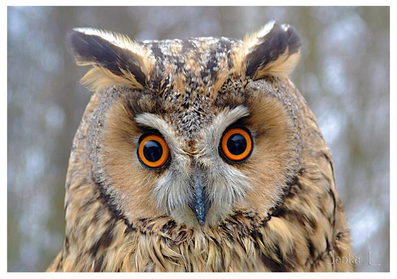 Owl for Elena by jankolas