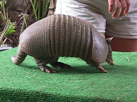 Armadillo by dtf-stock