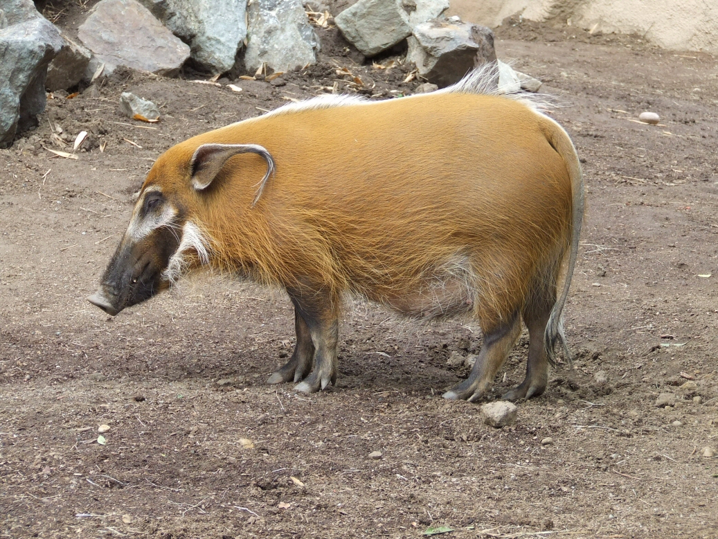 Red River Hog 1 by dtf-stock