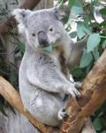 Koala munchin