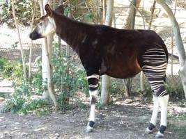 Okapi - full by dtf-stock