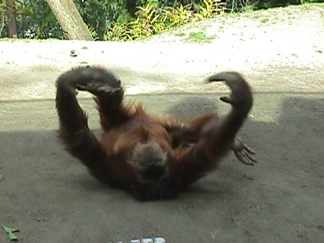 Orangutan Rollin by dtf-stock