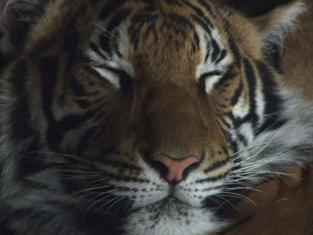 Tiger Face Huge