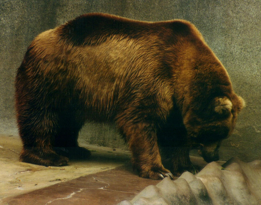 Brown Bear 2 - stock by dtf-stock