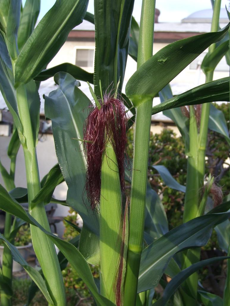 Garden Stock Corn w/Red Silk by dtf-stock