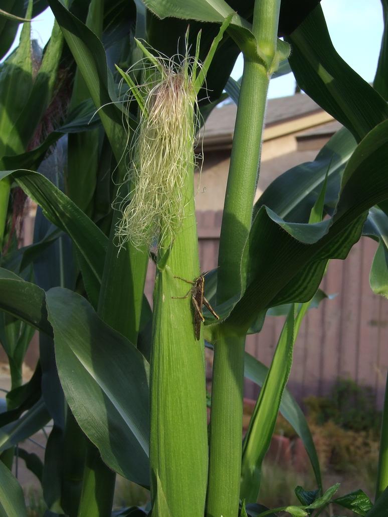 Garden Stock Corn w/Blond Silk by dtf-stock