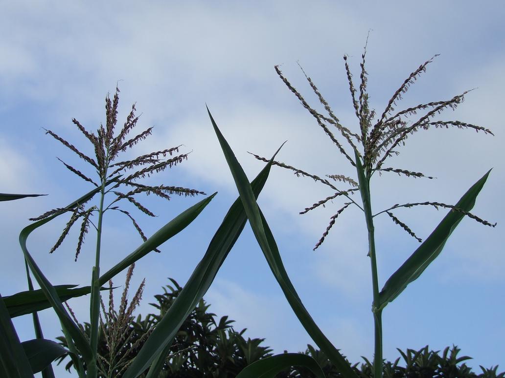 Garden Stock Happy Corn by dtf-stock
