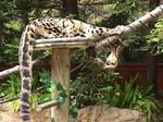 Clouded Leopard 3