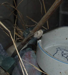Mantis egg sac after drying