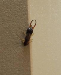 Earwig on a door