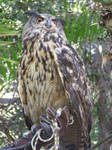 European Eagle-Owl fullbody1