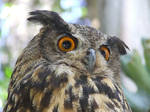 European Eagle-Owl head 5 by dtf-stock