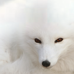 Snow Fox by Ivaqui