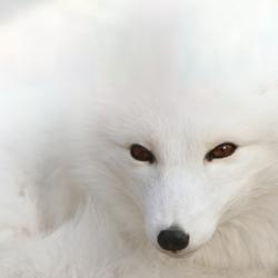 Snow Fox by Ivaqui