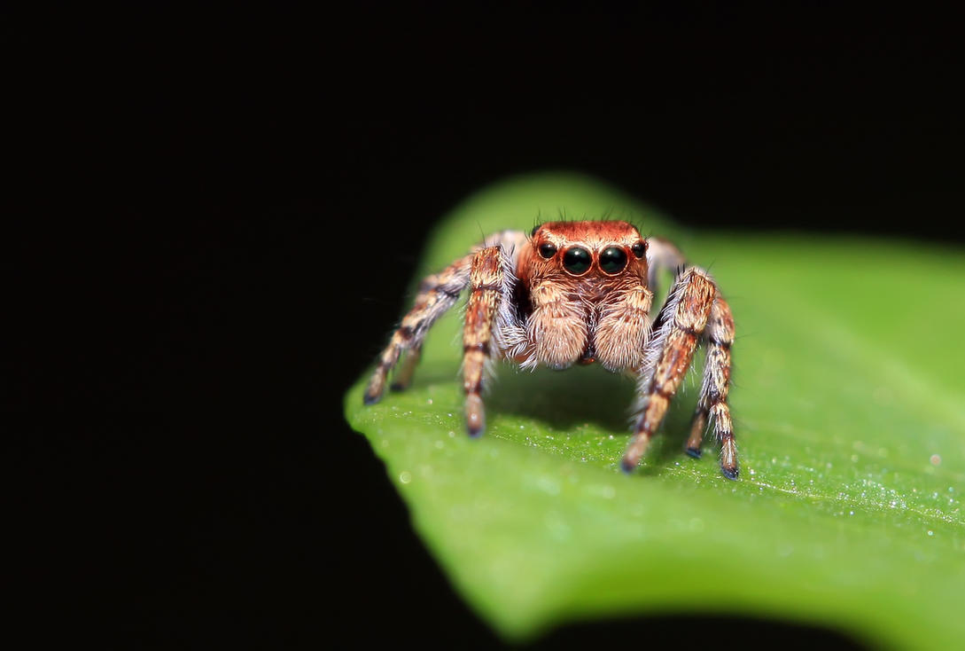 Jumping spider by doktorwhooves