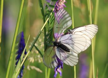 Butterflies by doktorwhooves