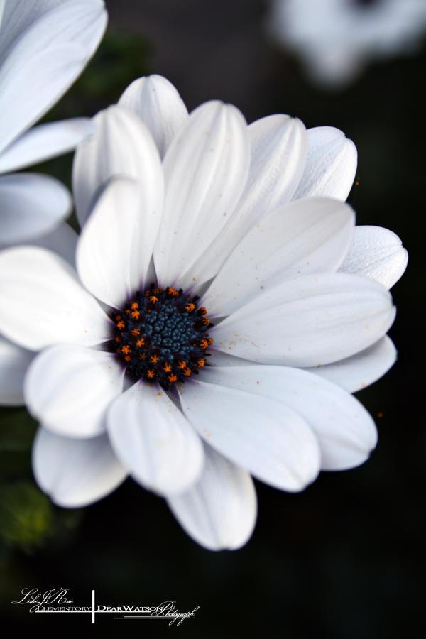 Dark Flower - Macro. by ElementaryDearWatson