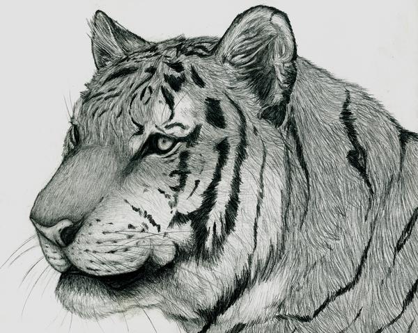 Tiger Sketch by Blitz32 on DeviantArt