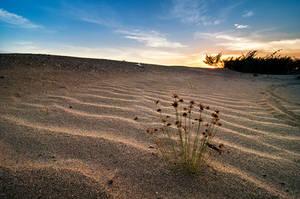 Tiny plants on man-made sand dune