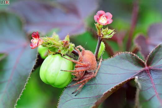 Itsy Bitsy Red Spider