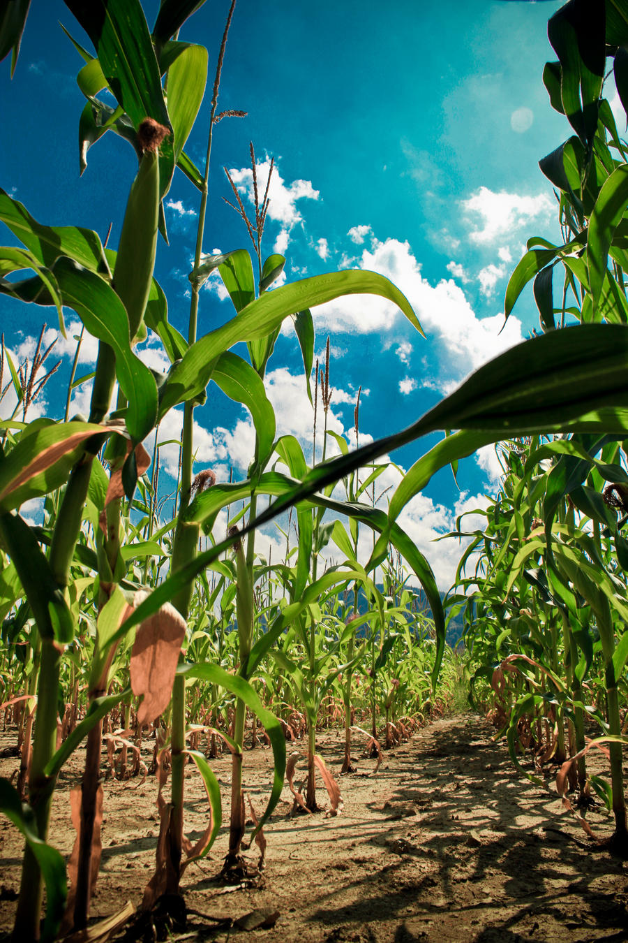 cornfield II by AgizZz