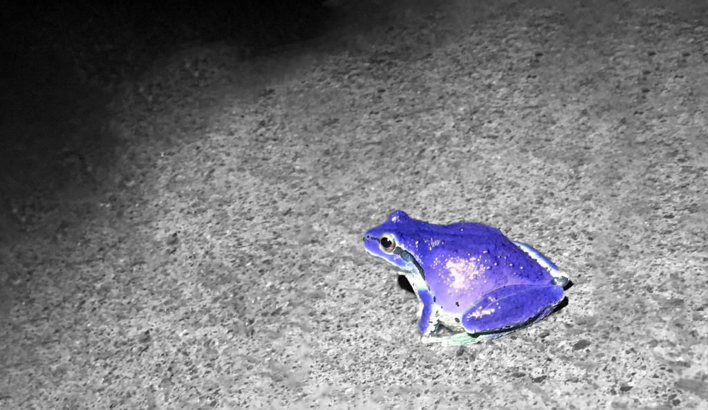 best service c75cd e9791 Purple Poison Dart Frog by Bradclark ...