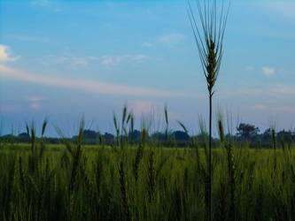 wheat field by the Indian border ... by Ayon-Azad