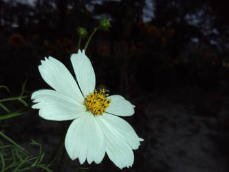 A White Flower by Ayon-Azad
