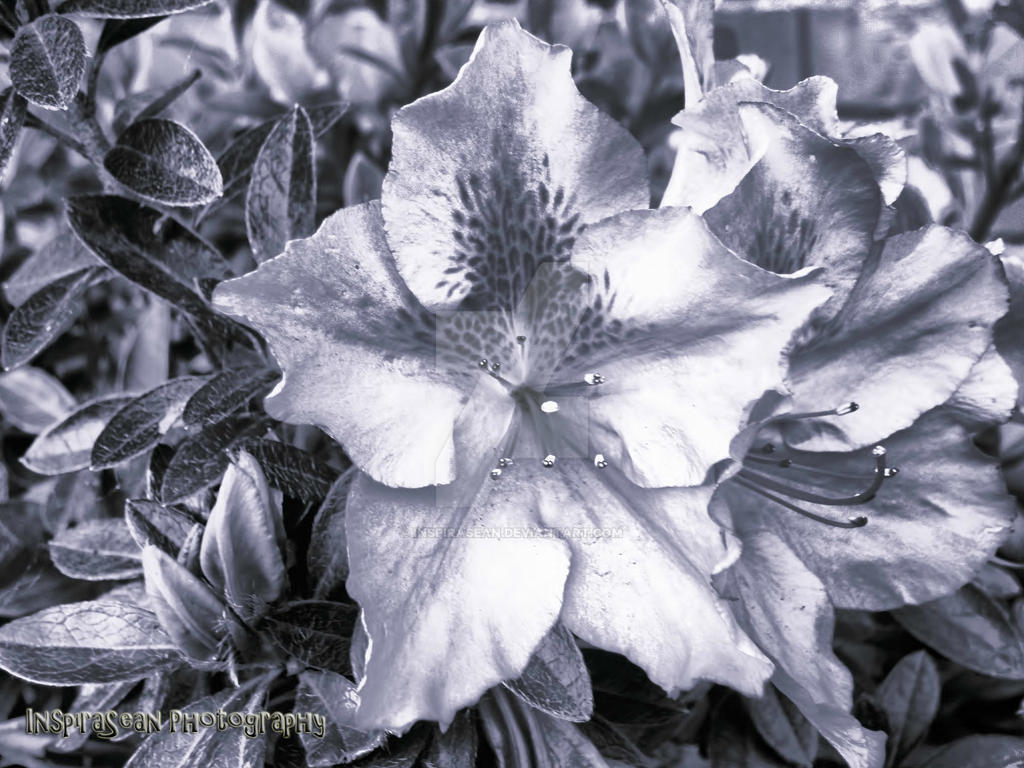 Pretty Black N White Flower By Inspirasean On Deviantart