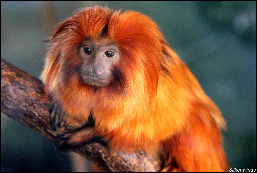 how to draw a golden lion tamarin monkey