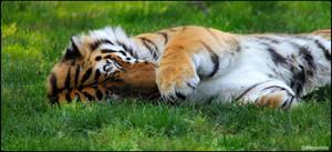 Tiger Tiger, Do You Dream?