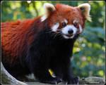 My Little Panda 13 by SilkenWinds