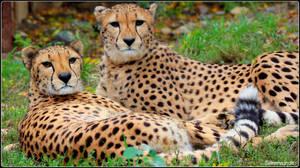 Cheetah Sisters by SilkenWinds