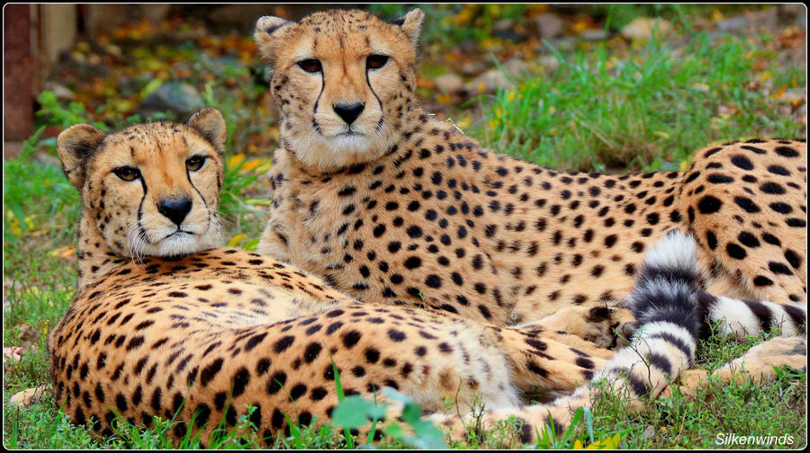 Cheetah Sisters by SilkenWinds