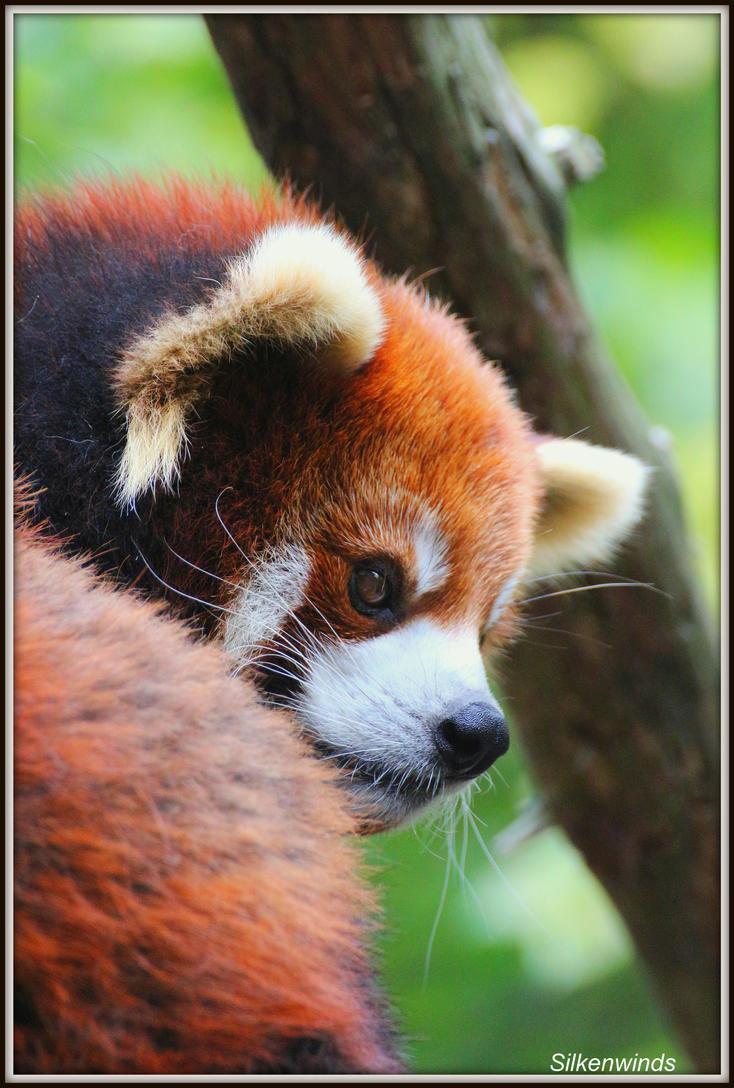 My Little Panda 18 by SilkenWinds