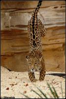Landing Jaguar Style by SilkenWinds