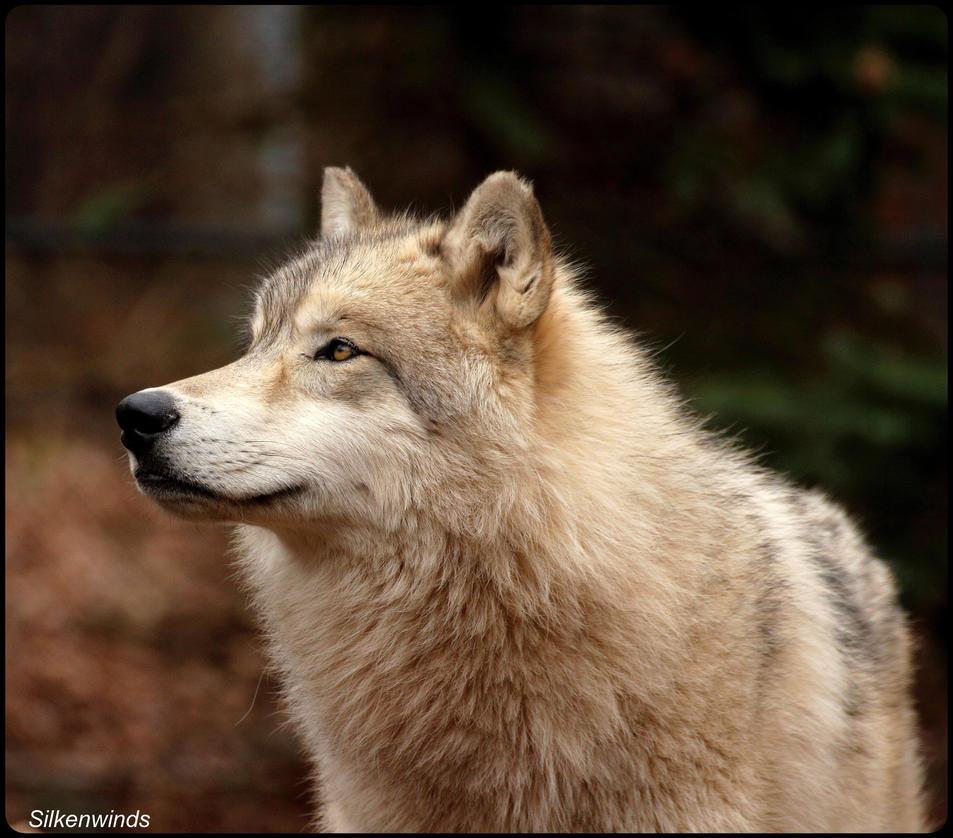 Wise Olf Wolf by SilkenWinds