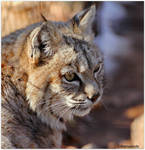 Bobcat Profile 5