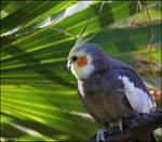A Cockatiel In a Palm Tree