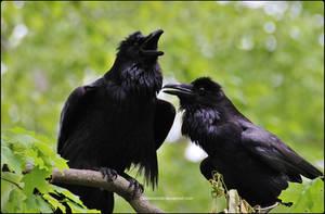 Raven Serenade 7 by SilkenWinds