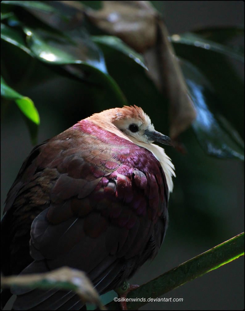 White-Throated Ground Dove by SilkenWinds