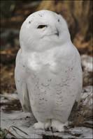 Snowy Owl Portrait by SilkenWinds