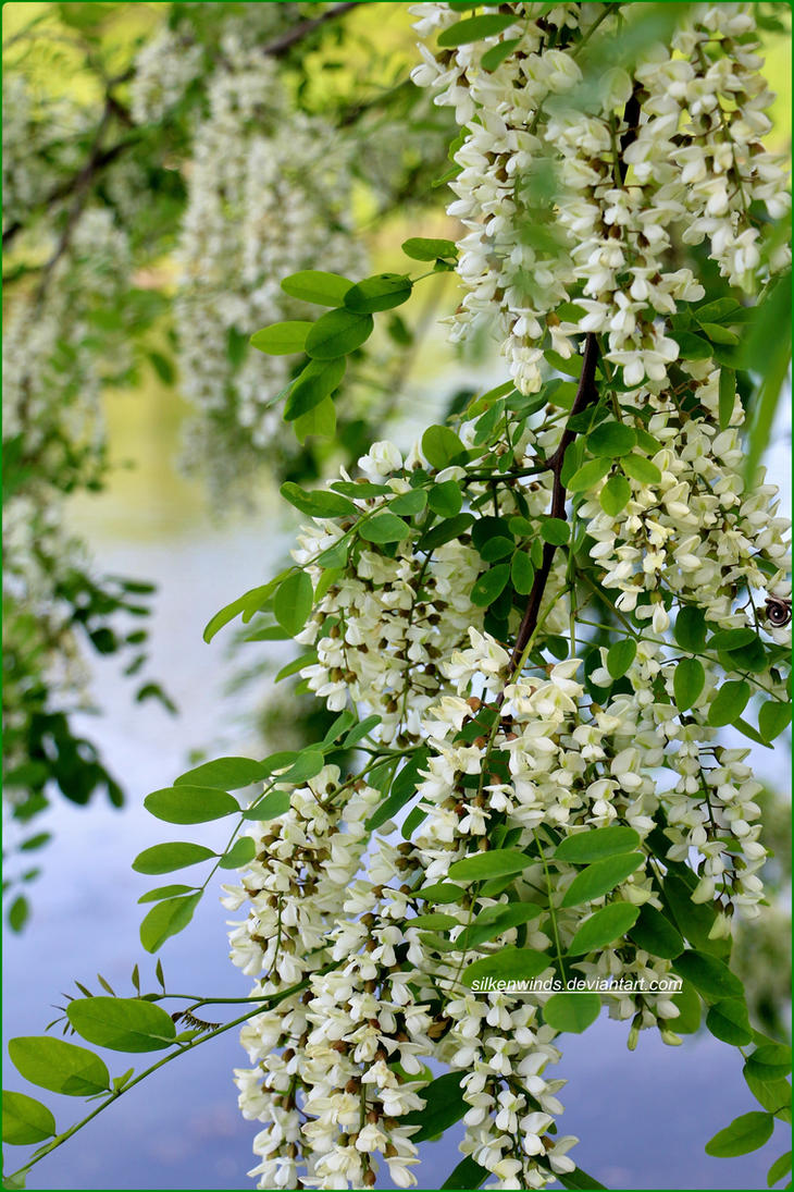 Locust Flowers Over Water by SilkenWinds